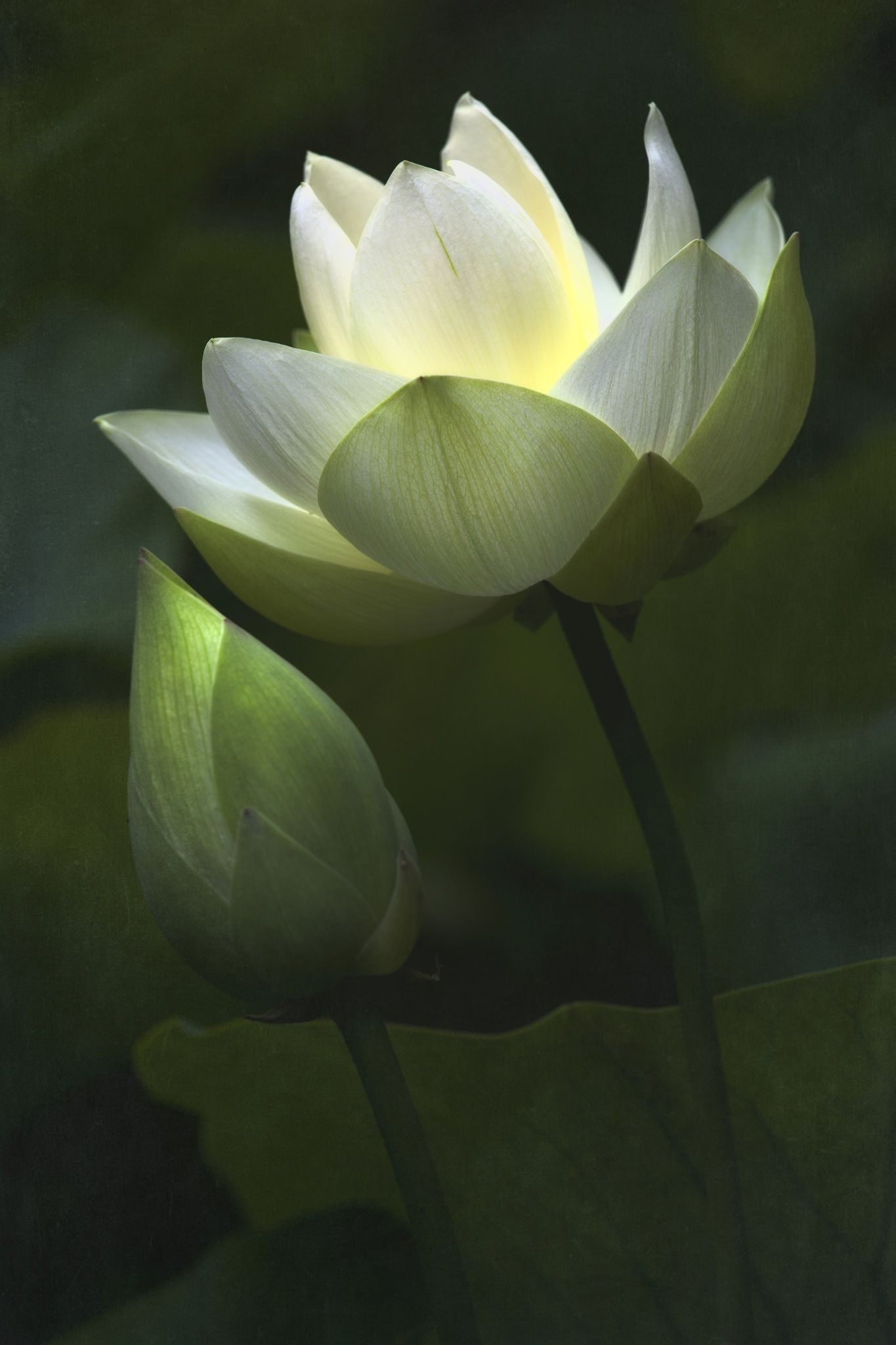 Beautiful White Lotus A Symbol Of Our Soul Unfolding S H I N E
