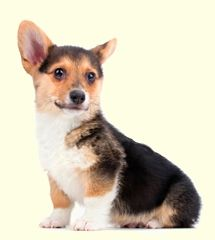 Pembroke Welsh Corgi Puppies For Sale Corgi Organic Dog Treats