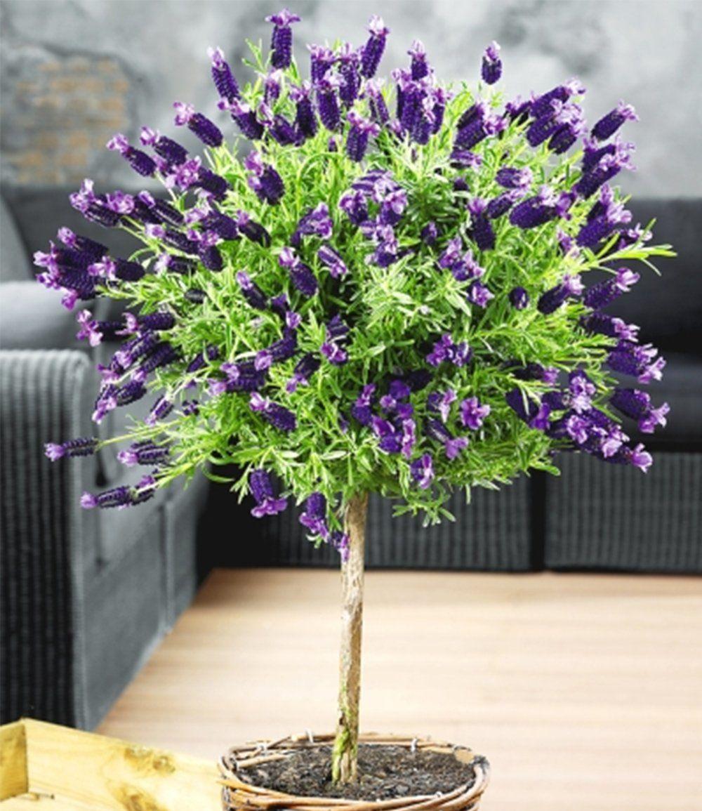 lavendelst mmchen mit krone top qualit t garten lavendel pflanzen und lavendel baum