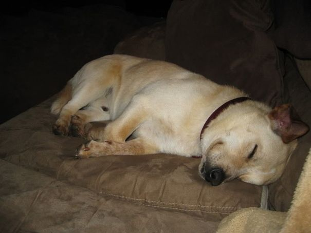 Adorable Corgi And Yellow Lab Cross Breed Mix Http Www