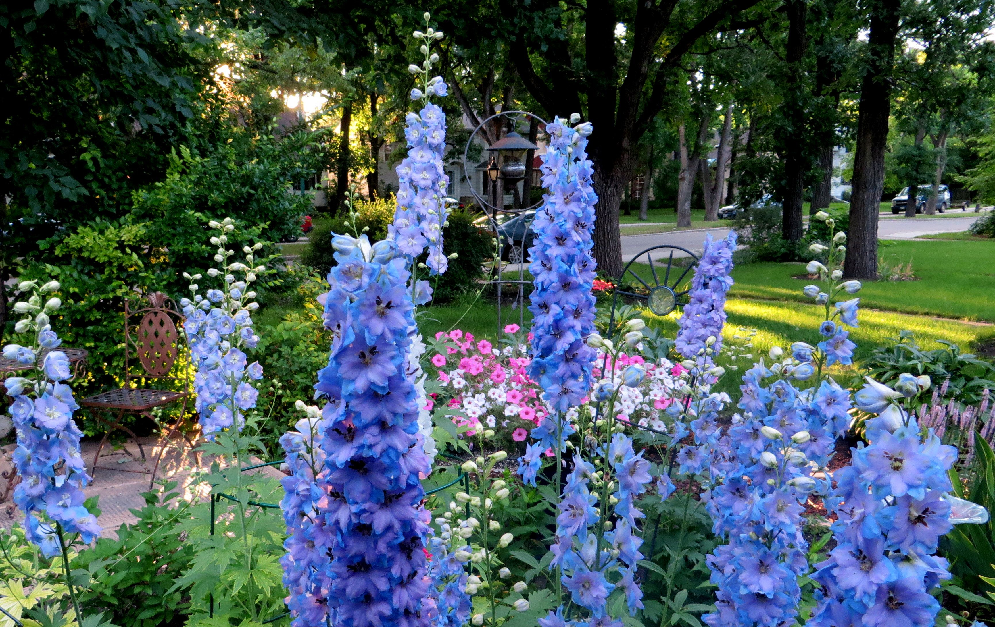 Cottage Garden Delphinium Perennial And Annual Plants Delphinium Deer Resistant Perennials Perennials