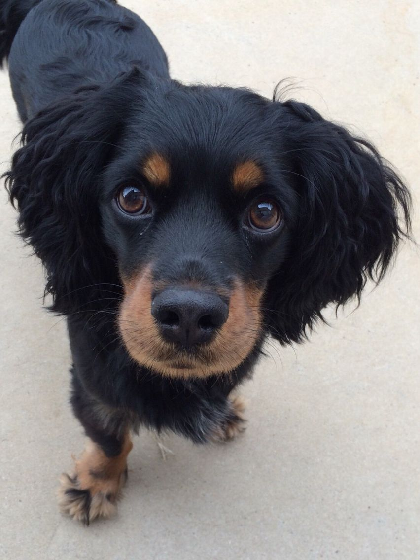 Look At That Face My Cocker Spaniel Dachshund Mix