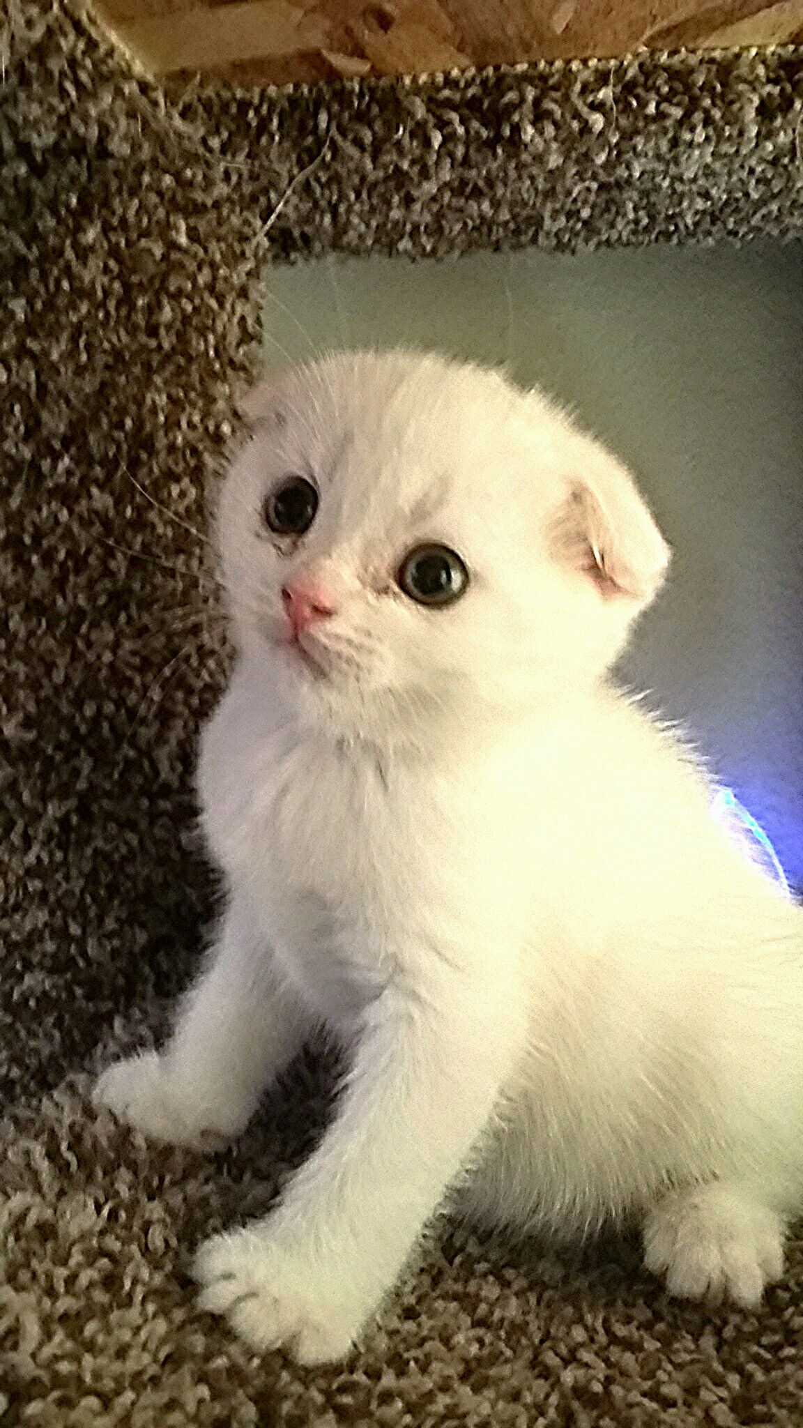 Willow A Scottish Fold Cattery Exoticfolds Com Scottishfoldkitren