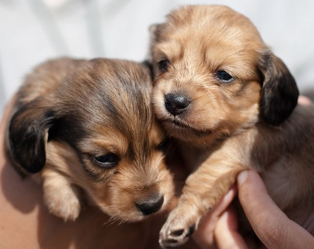 English Cream Long Haired Dachshund Puppies By Soggydan Via