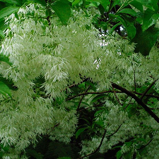 White fringetree white gardens spring flowers and plants white fringe tree chionanthus virginicus spring flower zones grow in fertile well drained soil in full sun usually trouble free full sun only mightylinksfo