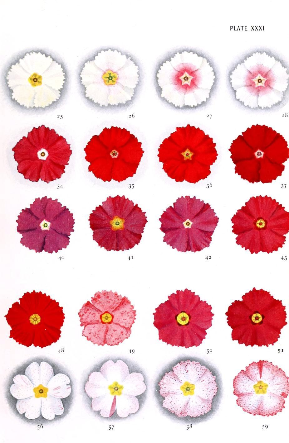 Botanical - Genetics - Flower color educational plate, primula 2 ...