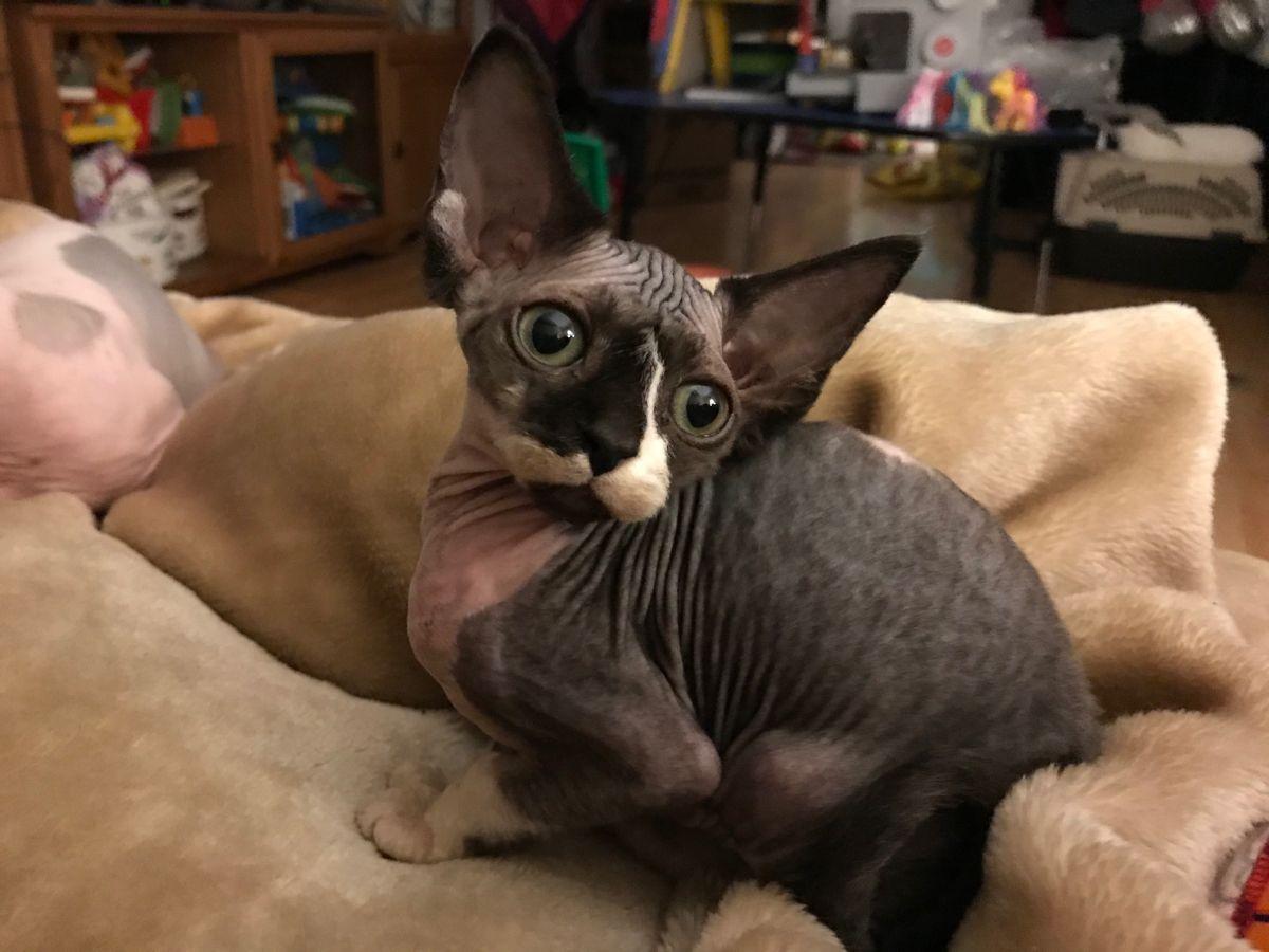 Sphynx Tuxedo In 2020 Cute Baby Animals Animals Baby Animals