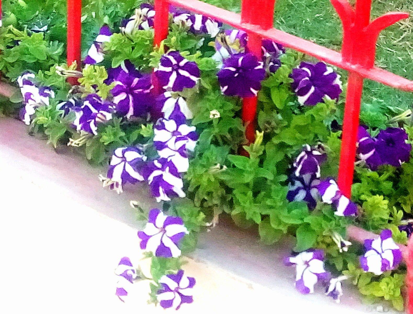 Pretty Petunia Captured By Me While Having A Walk Karachi Pakistan Petunias Flowers Plants