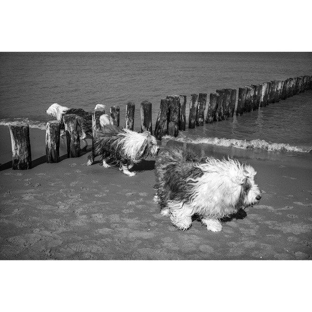 3 April 2016 Groede. Family at Sea #Bobtail #MerduNord #bw #dogs #beach http://ift.tt/1RYPYH5