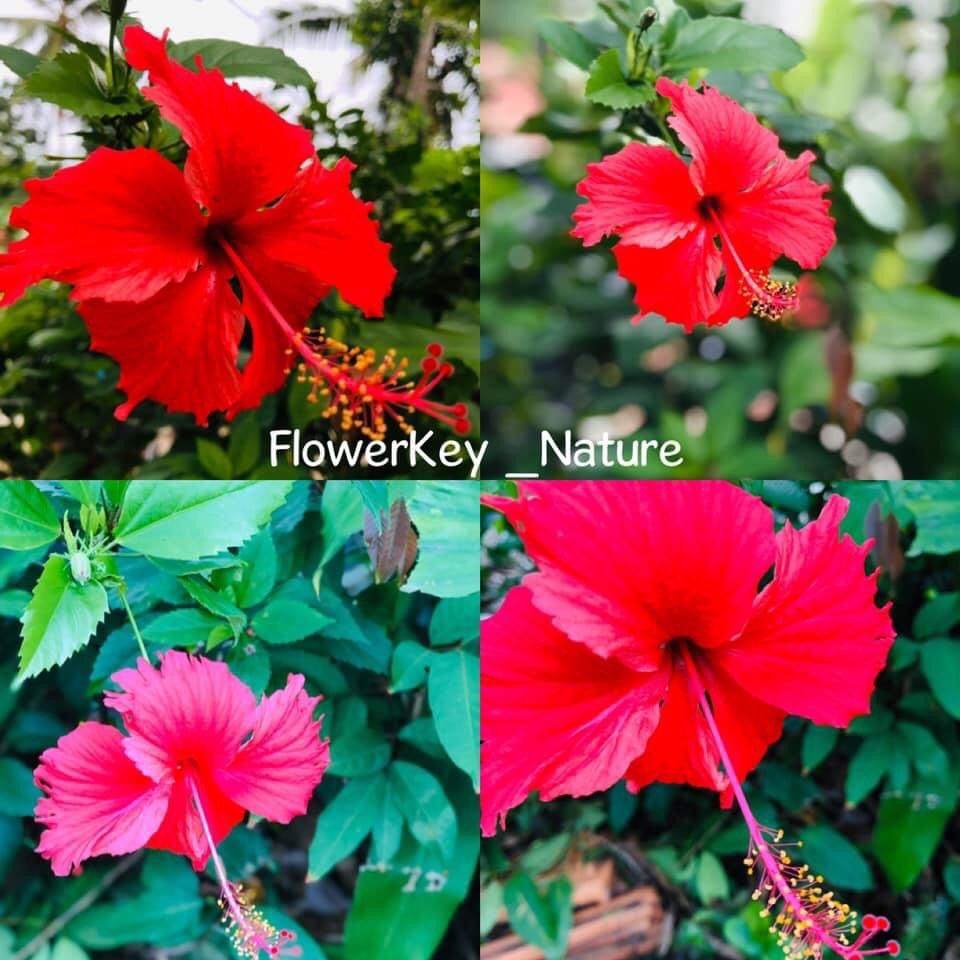 China Rose Or Shoe Flower In 2020 China Rose Hibiscus Rosa Sinensis Flowers