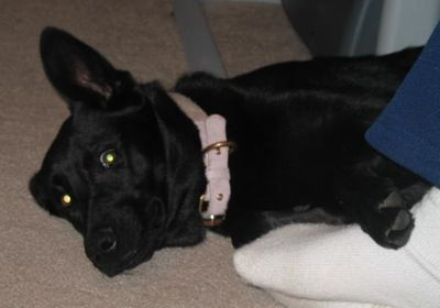 German Shepherd Lab Mix Full Grown Female Images Amp Pictures