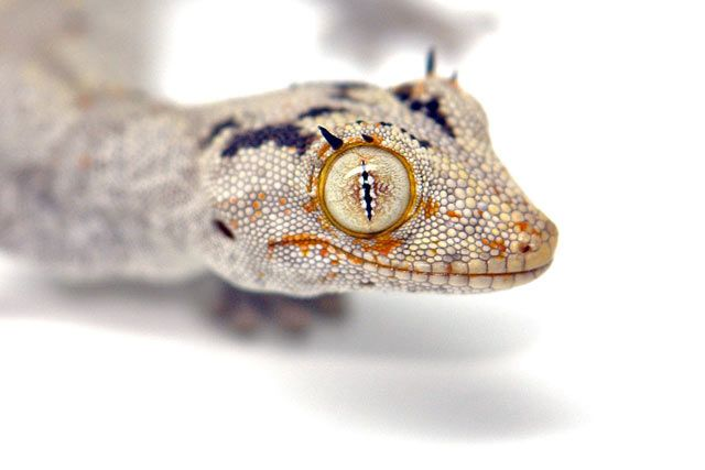 Strophurus Ciliaris Geckos Unlimited With Images Gecko