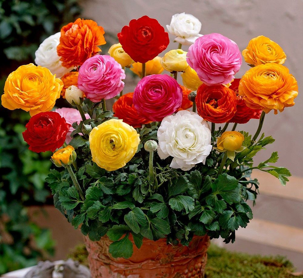 50 Ranunculus Seeds Diy Potted Plants Flower Indoor Outdoor Pot Seed Germination Rate Of 95 Mixed Colors Bulb Flowers Summer Flowering Bulbs Flower Seeds