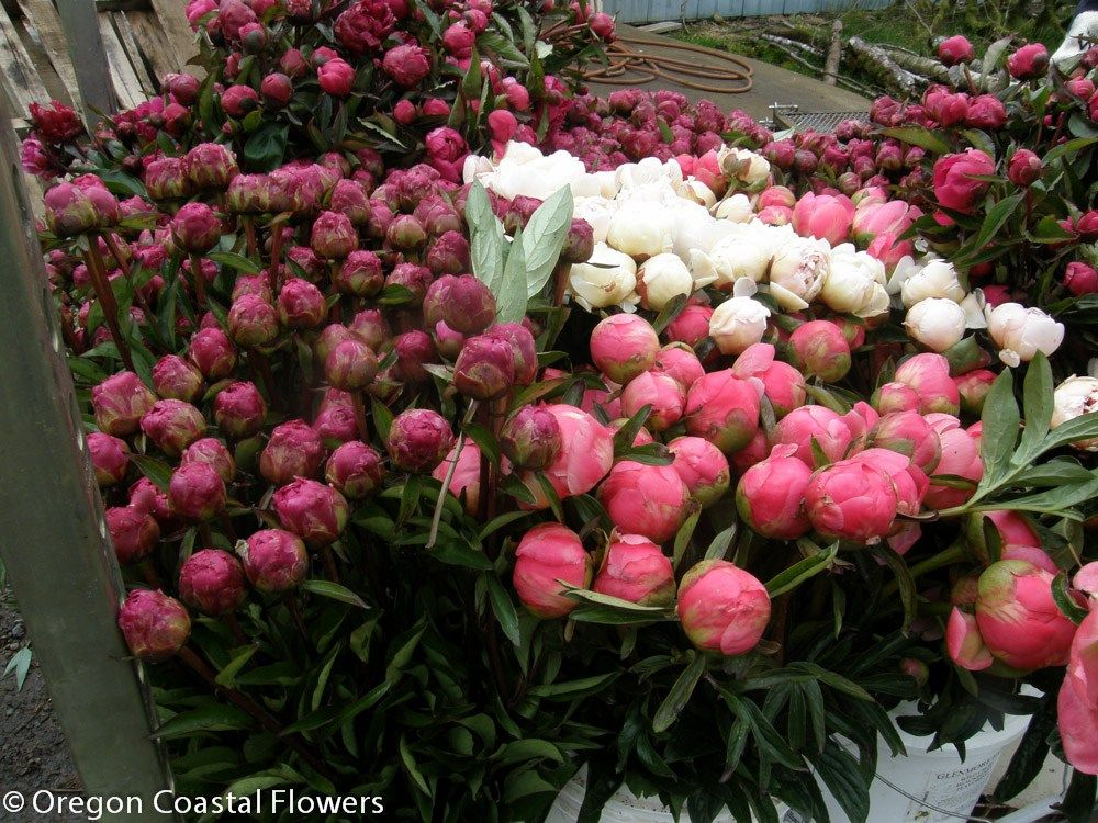 Wholesale Pink Peonies Wholesale Pink Peonies
