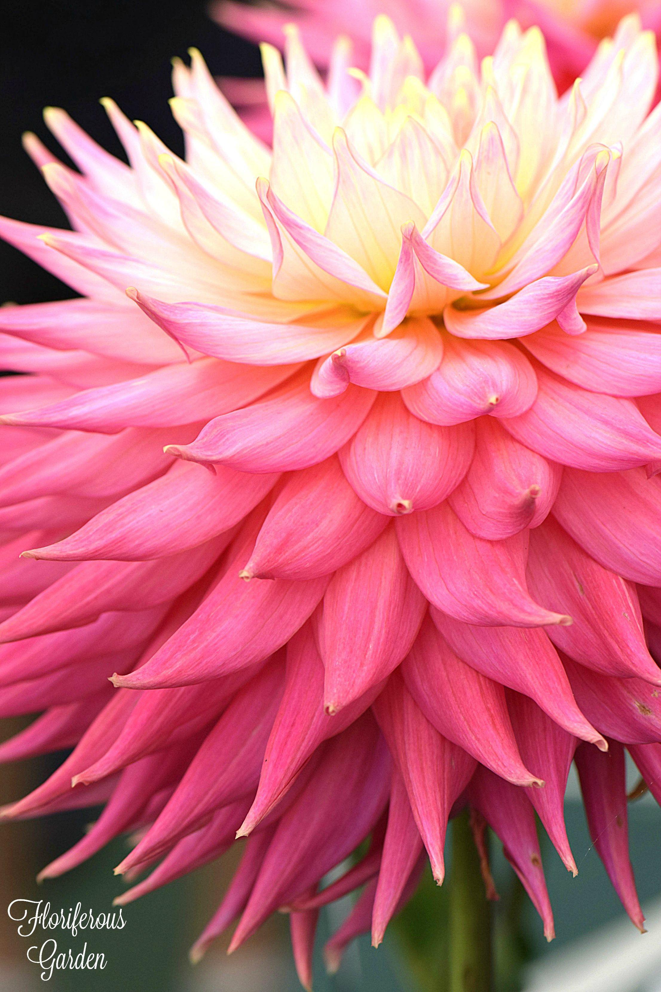 Dahlia jupiter rose httpsfloriferous garden flower dahlia jupiter rose httpsfloriferous garden izmirmasajfo