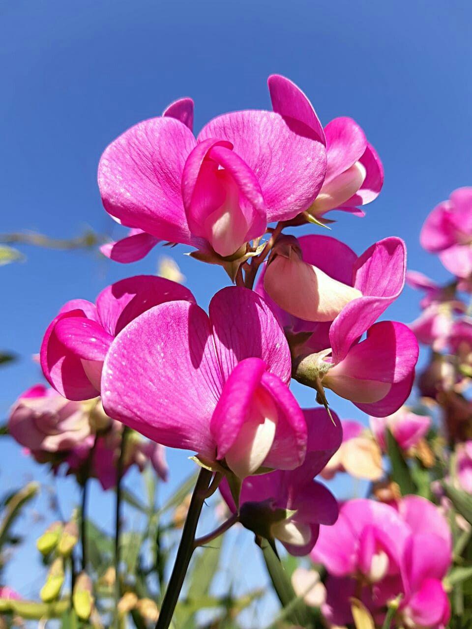 Фото. Красивые цветы. Яркое сочетание. Душистый горошек ...