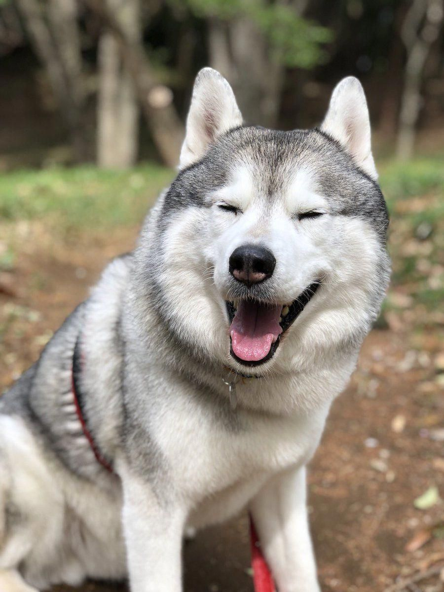 Things We Admire About The Intelligent Siberian Huskies Dogs