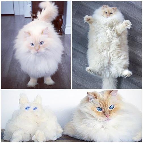The cat star, extremely elegant a fluffy cat with beautiful eyes has many followers on Instagram http://veu.sk/index.php/aktuality/1823-macacia-hviezda-elegantna-extremne-nasuchorena-macka-s-krasnymi-ocami-ma-mnoho-nasledovnikov-na-instagrame.html #instagram #feline #star #extremely #elegant #fluffy #cat #eyes #followers
