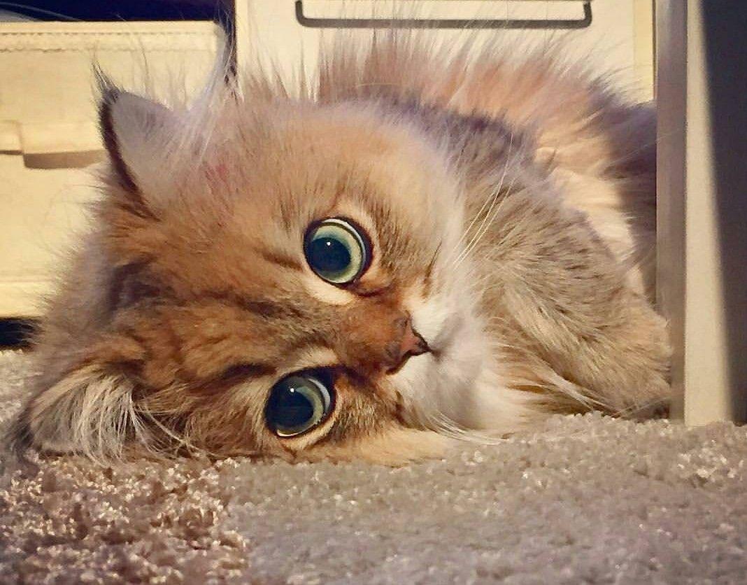 Epingle Par Liberty Veterinary Hospital Sur Cats Chats Adorables Chats Et Chatons Beaux Chats