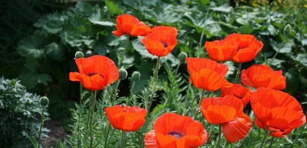 Vanhan ajan monivuotisia kukkia eli perennoja, 1. osa