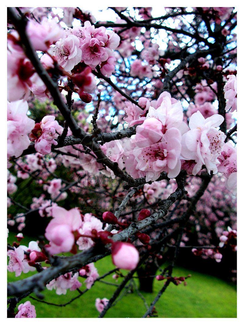Cherry Blossom Apricot Blossom Sakura Cherry Blossom Blossom