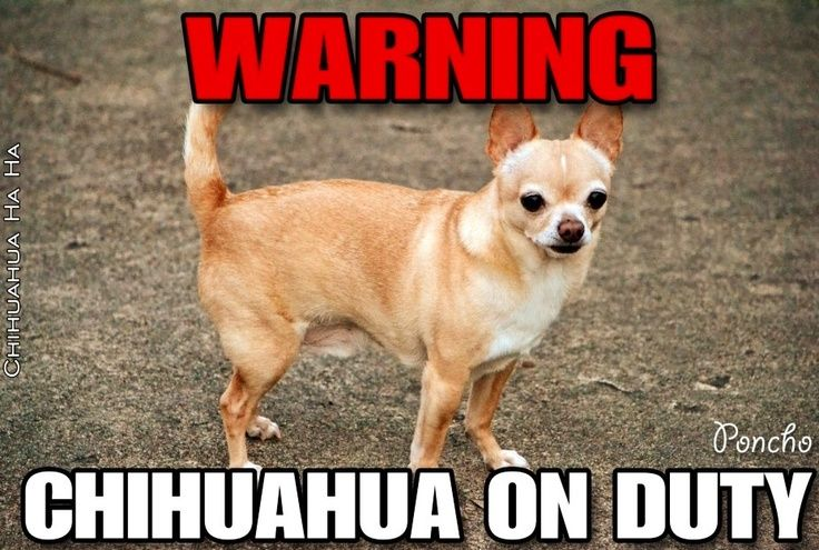 Pin By Quotes Queen On Chihuahuas Pinterest Chihuahua Funny Funny Animals Chihuahua
