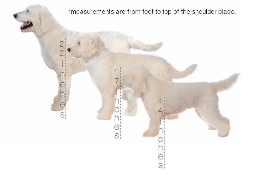 Goldendoodle Sizes Standard 50 85lb Medium Miniature 30 50lb Toy Pee 18 30lb
