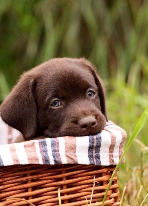Labrador Puppy Tiere Hund Labradorwelpen Hundebabys