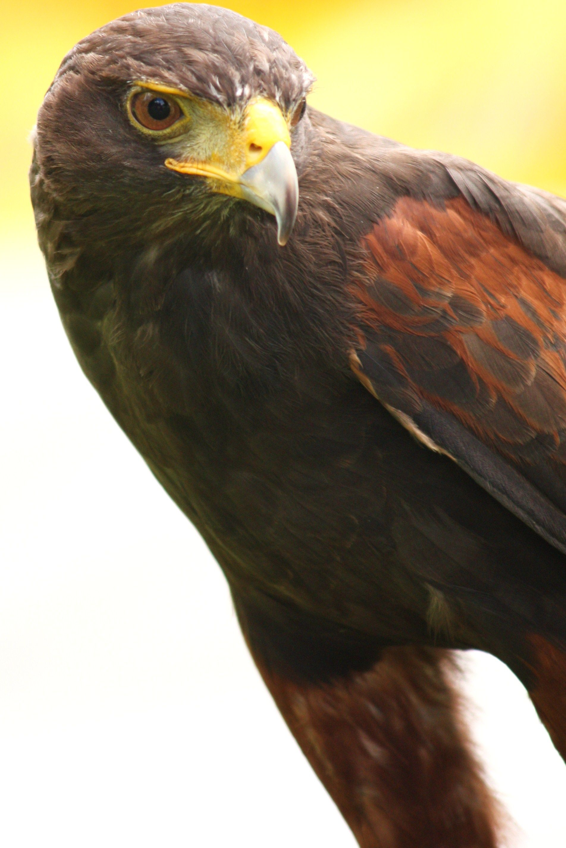 Harris Hawk These Guys Come From The Deserts Of Texas Arizona And Chile They Are One Of The Only Birds Of Prey To H Raptors Bird Wild Birds Birds Of Prey