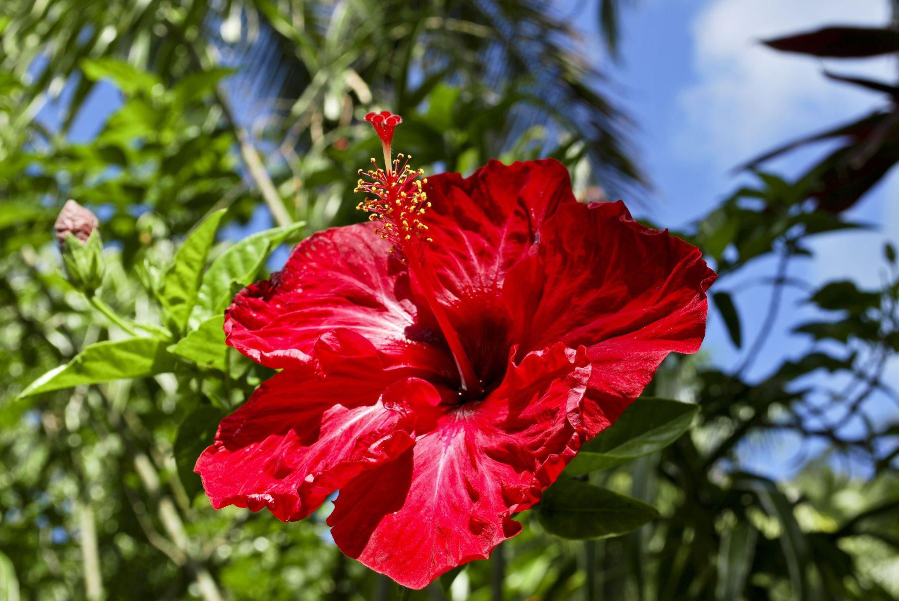 Httphdwdatawallpapernaturetropical Flower Red Hibiscus In