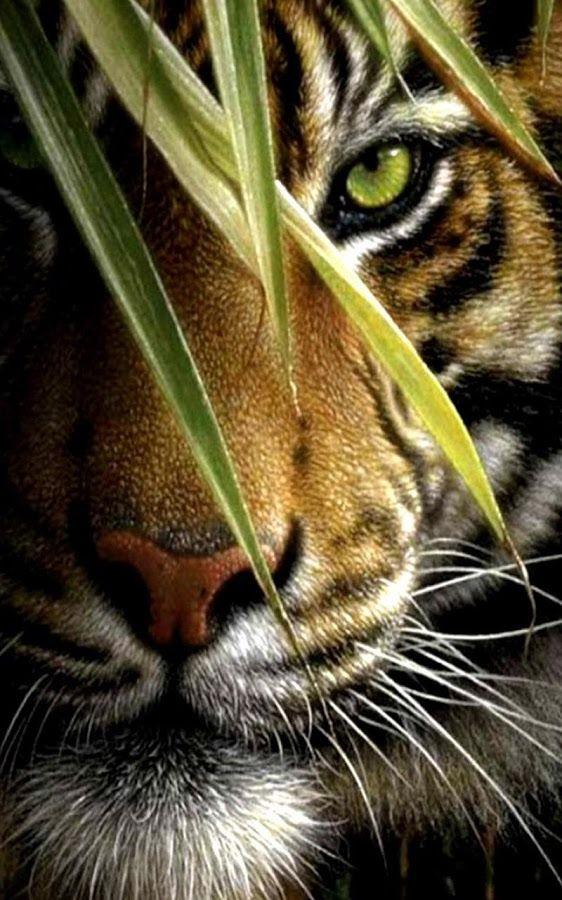 Desktop Hintergrund Tiger