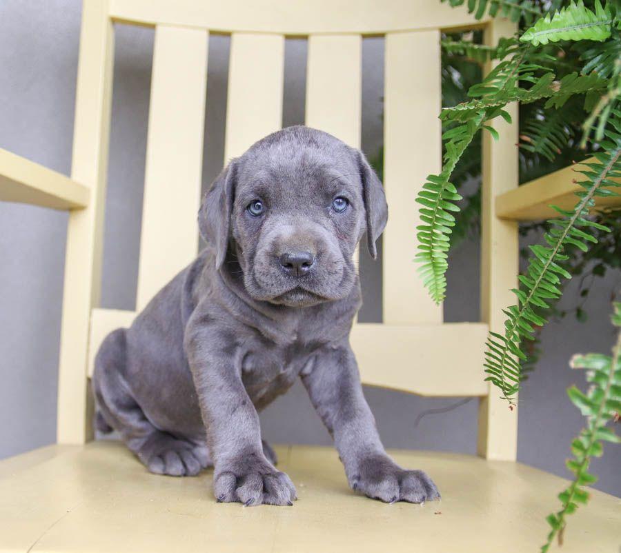 Cane Corso Puppies For Sale Puppies Cane Corso Lancaster Puppies