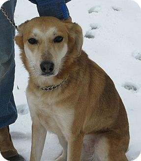 Richmond Va Collie Golden Retriever Mix Meet Patty A Dog For Adoption Animal Shelter Adoption Dog Adoption Adoption