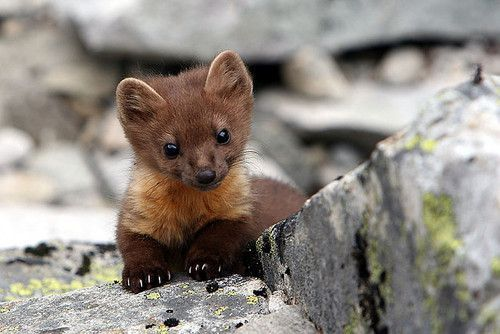 Baby Pine Marten | Baby Pine Marten, See Over 2500 more animal pictures on my Facebook ...