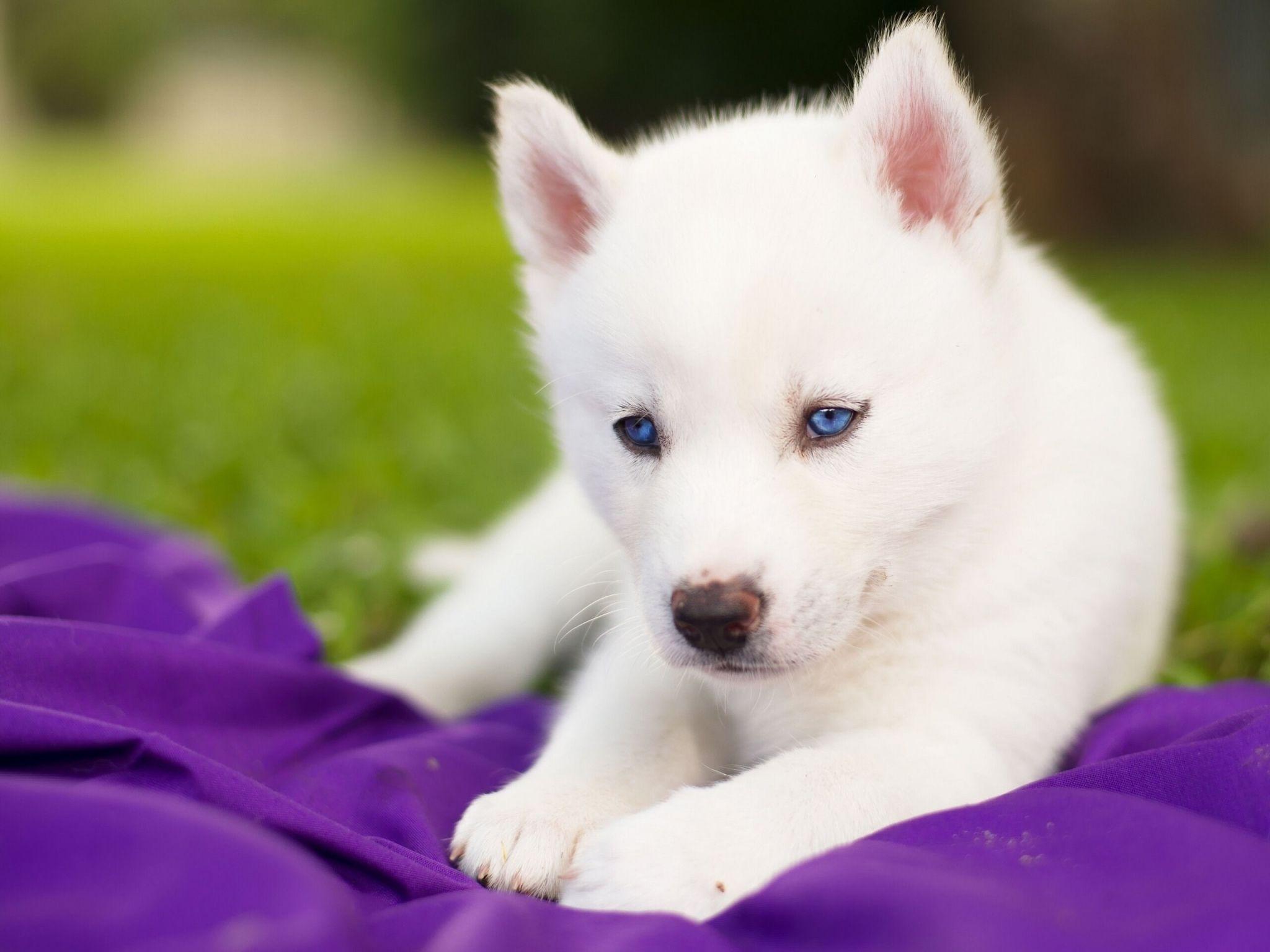 Husky Free Screensaver Wallpapers White Husky Puppy Husky With Blue Eyes Siberian Husky Puppies