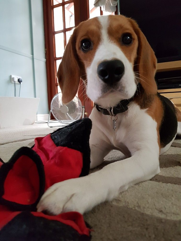 Oscar The Beagle And His New Favourite Toy Only Because You