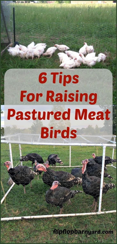 How to raise pastured meat birds raising farm animals