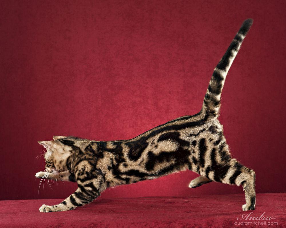 Funky Cats Bengals - Bengal Cat Breeder - Melbourne, Victoria ...