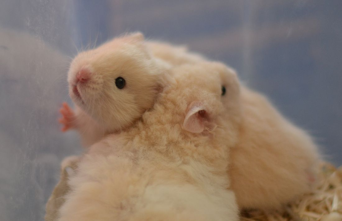 Ivory Lh Rex Front Rxrx And Non Rex Back Rx Hamster Babies