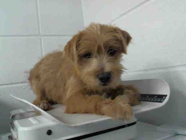 HOUSTON - I NEEDS A NEW HOME WITH YOU TODAY!! This DOG - ID#A1284376 I am a male, tan Lhasa Apso mix. The shelter staff think I am about 13 weeks old. I have been at the shelter since Dec 23, 2014.