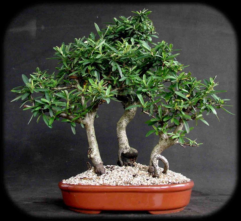 piracanta bonsai plants planters