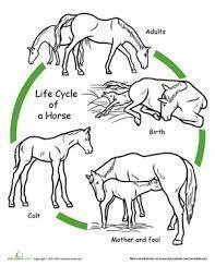 Image result for free worksheets life cycle of mammals, #