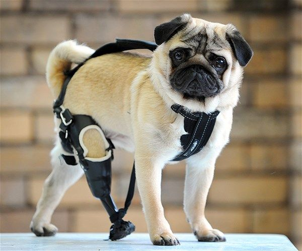 Edward The 1 Year Old Pug With A Missing Limb Pugs Cute Pugs