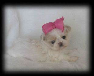 Sweet Tooth Imperial Shih Tzus Of Salt Lake City Utah Breeder Of