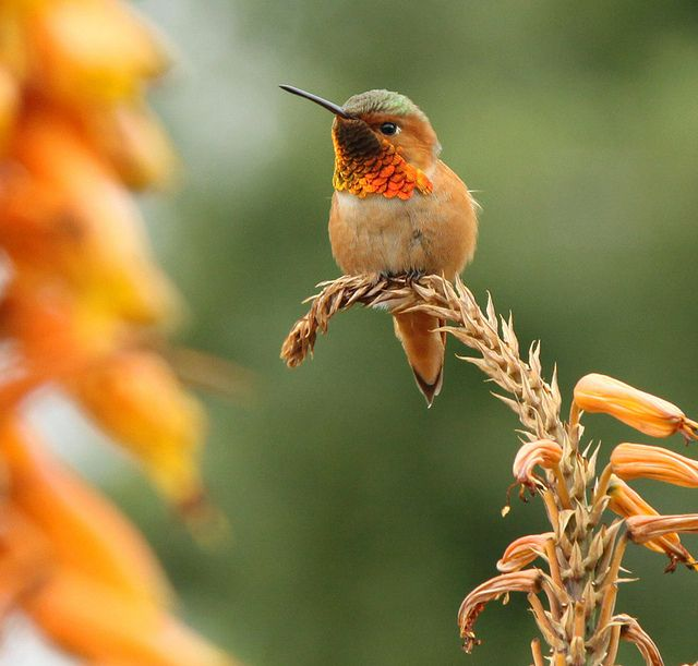 Orange hummingbird pauses for a photo shoot :)