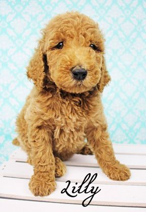 Apricot Standard Poodle. 6 weeks. Fluffy puppy. Pet photography. Dog Photography. Looks like a doodle. Sugar N Spice Standards