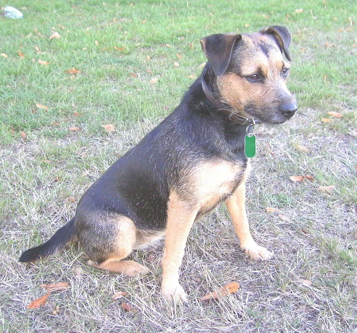 Patterdale Terrier Patterdale Terrier Black And Tan Terrier