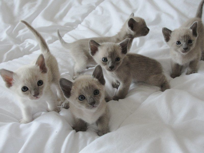 Tonkinese Kittens Tonkinese Kittens For Sale Tonkinese Kittens Tonkinese Cat