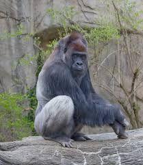 Resultado de imagem para musculatura de un gorila