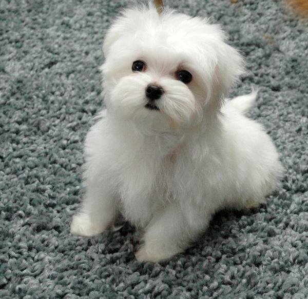 Aspen Maltese Maltese Dogs Maltese Poodle Maltese Puppy